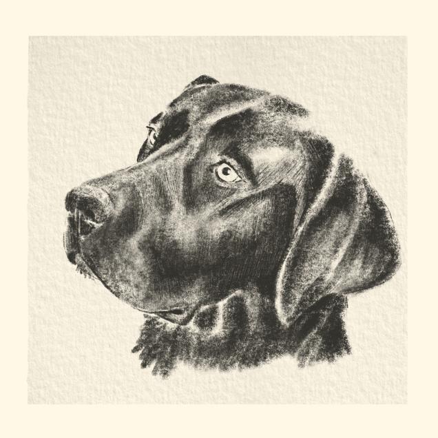 étude d'un Labrador noir Crayon noir